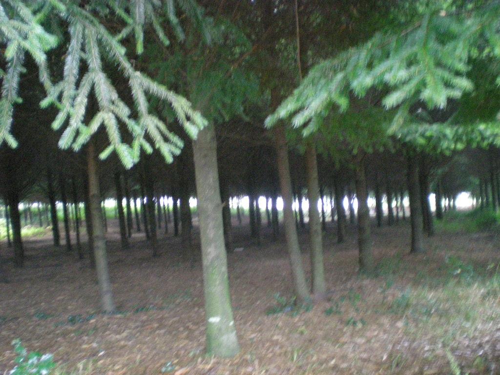 La sombra de los pinos hace la noche