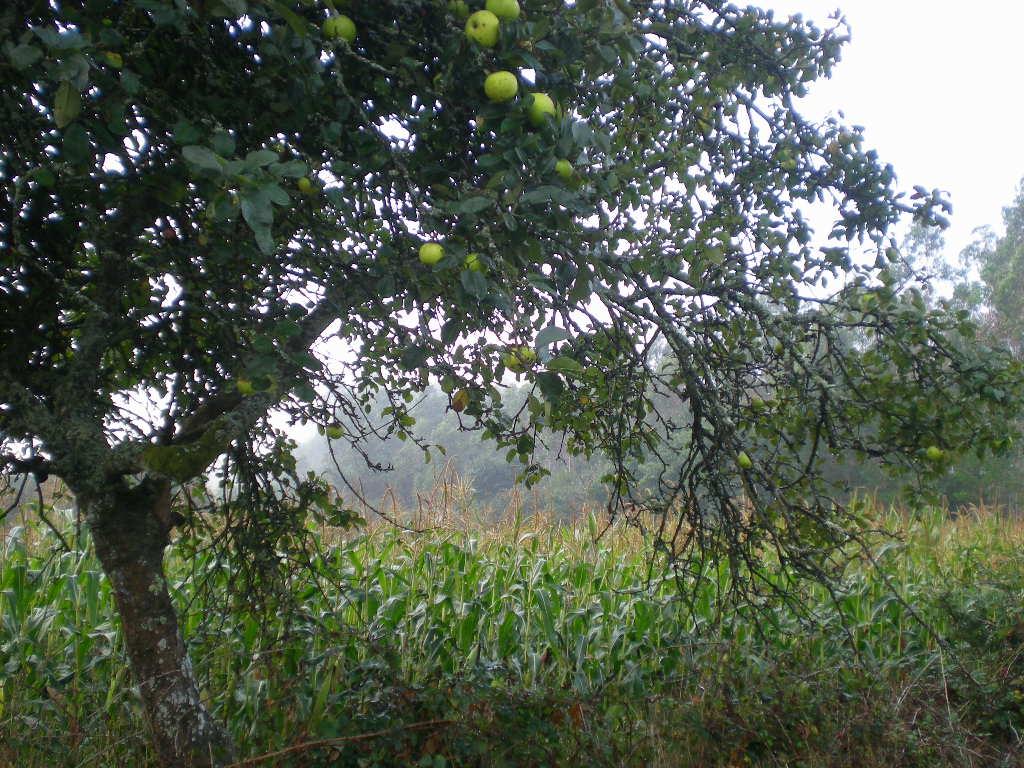 La estampa de las aldeas gallegas; manzanos y maíz